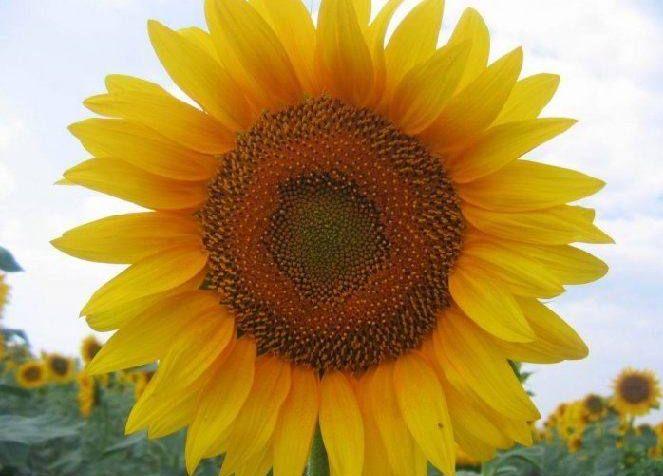 Фьючерс на кукурузу у максимума 3 недель в ожидании отчета usda